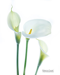 Cala Trio (Duckprints) Tags: cala lilies structure flowers