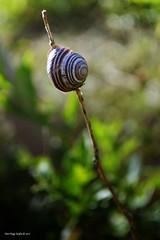 Balanced (Zsofia Nagy) Tags: ourdailychallenge balanced snail bokeh depthoffield dof d3100 garden kert csiga