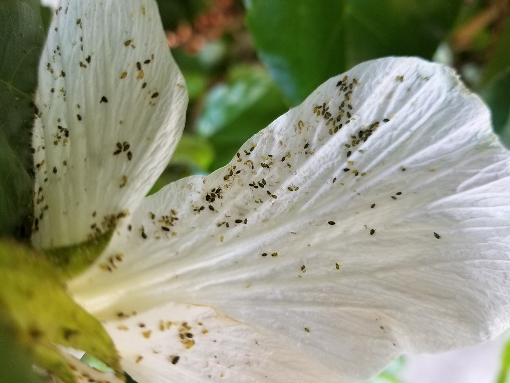 The Worlds Best Photos Of Aphids And Hibiscus Flickr Hive Mind