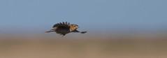 grsp-easterncimarronco-5-26-17-tl-09-cropscreen (pomarinejaeger) Tags: keyes oklahoma unitedstates bird grasshoppersparrow ammodramussavannarum