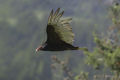 Spread your wings- Turkey Vulture Style (Chantal Jacques Photography) Tags: turkeyvulture bokeh wildandfree spreadyourwings depthoffield notsocute