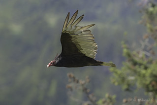 Spread your wings- Turkey Vulture Style