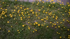 WP_20170526_14_09_13_SmartShoot (FinnCamera) Tags: dandelions flowers