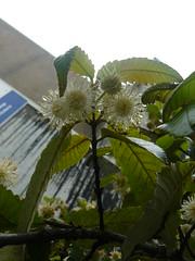 Callicoma serratifolia (tammoreichgelt) Tags: massey cunoniaceae flowers inflorescence white foliage wattle black leaf silver buttonwood quince wild