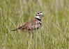 _53F7395 Killdeer (~ Michaela Sagatova ~) Tags: birdphotography canonphotography killdeer michaelasagatova plover