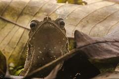 Litter Toad (antonsrkn) Tags: rhinella margaritifera toad bufonidae bufonid bufo herp herpetology amphibian conservation nature natural wild wildlife animal leaf litter camouflage peru texture macro portrait nikon nikkor