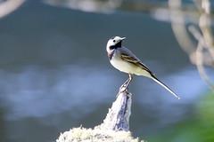 bergeronnette grise ( Motacilla alba ) Brech 170525a2 (papé alain) Tags: oiseaux passereaux motacillidés bergeronnettegrise motacillaalba whitewagtail brech morbihan bretagne france