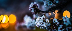 Sakura Bokeh (Thomo13) Tags: ifttt 500px flower light japan bokeh sony cherry blossom sakura hanami tsukuba a7 rii