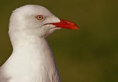 Silver gull (natalia.bird_nerd) Tags: headshot bird gull silvergull green shorebird sorrentobeach australia