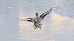 Common Teal (Male)