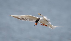 Common Tern (tresed47) Tags: 2017 201705may 20170517snewjerseybirds birds canon7d capemay capemaynwr commontern content cooksbeach flightshot folder general newjersey peterscamera petersphotos places takenby tern us ngc npc