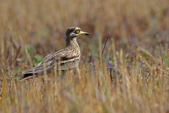Stone Curlew. (E P Rogers) Tags: bird wader arid yellow eyes nocturnal greece kos