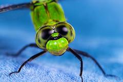 Smiling Dragonfly Portrait (heeeerod) Tags: dragonfly insect bug fly flight green macro 105mm nikon nikkor sppeedlight speedlite yongnuo 560ii 560iii 560iv yn603ii
