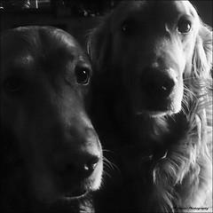 Two Mooches (John Neziol) Tags: jrneziolphotography goldenretriever fieldretriever pointynoseddogs interestingdogposes smileofadog pet portrait dog dognose animal brantford blackwhite monochrome
