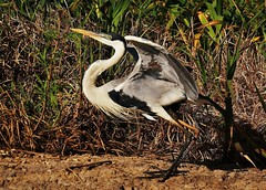 Cocoi Heron (Ardea cocoi) (Susan Roehl) Tags: braziltrip2016 thepantanal cuiabariver brazil southamerica cocoiheron ardeacocoi widespread ardeidaefamily common habitat rivers swamps freshwaterlakes sueroehl naturalexposures photographictours panasonic 100400mmlens handheld takenfromboat bird animal outdoors ngc