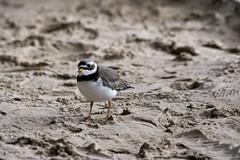 Sandregenpfeifer (Charadrius hiaticula) (kalakeli) Tags: sandregenpfeifer charadriushiaticula commonringedplover plovers birds vögel april 2017 zoo münsterzoo zoologicalgarden