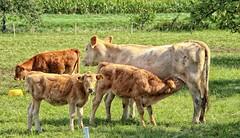 Omersbach Landleben (wernerfunk) Tags: kühe landschaft bayern