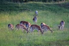 Cervols al capvespre (Albert T M) Tags: aiguamollsdelempordà ciervos cérvols natura naturaleza canon70300mmf456isiiusm faunasalvatge