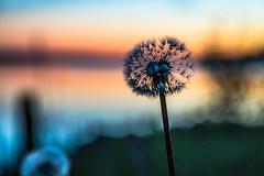 Dandelion (Arttu Uusitalo) Tags: flower dandelion nature plant summer night finland ostrobothnia kaskö kaskinen dusk sunset twilight canon eos 5d mkiv 24105