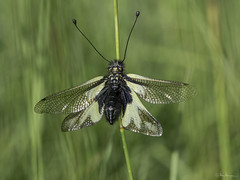 Libellen-Schmetterlingshaft (Oly User) Tags: kaiserstuhl omdem5markii olympus thomasmeinersmann urlaub libelloidescoccajus libellenschmetertlingshaft makro macrounlimited 60mmf28macro