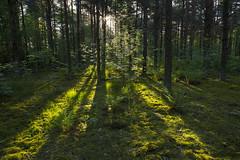 Music (Edita Ruzgas. Thanks for your visit.) Tags: sunrise edita ruzgas nikon forest woods sun rays sunrays morning sweden south sverige skåne skane mos trees green summer bushes nordic country beautiful light