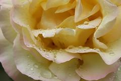 rosa rosae rosarum (Alessia Autelitano) Tags: rosa rugiada pioggia