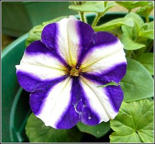 Lovely Petunia ..