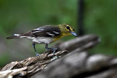 Yellow-Throated Vireo DSC_3510 (blthornburgh) Tags: tampa thornburgh florida sunshinestate yellowthroatedvireo bird songbird backyard nature closeup smallbird pattern