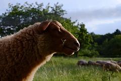 Lucky Sheep (rainbowcave) Tags: schaf herde schafe mainzlerchenberg gras kauen chewing sheep grass luckyluke