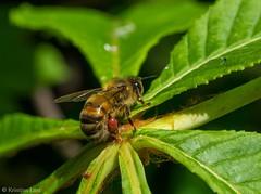 Mesilase tööpaus (BlizzardFoto) Tags: mesilane bee honeybee tööpaus paus break work töö kastan chestnut õietolm pollen