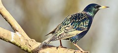 Starling (sadlerphotography) Tags: starling speices bird landscape view zoom branch wood wild birds nikon d7200 contrast shades photography picture capture camra feathers feather