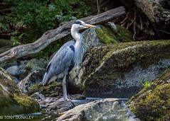 Grey heron (cricketlover18) Tags: eastlynnriver exmoor lynmouth watersmeet