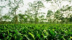 Tea Garden (tanmoydasroy) Tags: teagardens tea teaestate treeplants