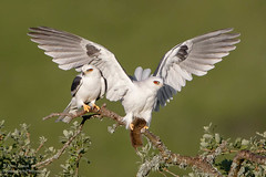 White-tailed Kites with vole (Steve Zamek) Tags: whitetailed kite raptor courtship food prey vole exchange
