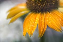 Drops on Yellow (michel1276) Tags: meyergörlitz meyeroptik meyer trioplan trioplan5029 flower retro manualfocus manuell exa vintagelens germanlens drops blume pflanze tropfen regen rain