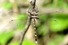 """Dragonfly • <a style=""""font-size:0.8em;"""" href=""""http://www.flickr.com/photos/61955892@N04/35234363476/"""" target=""""_blank"""">View on Flickr</a>"""