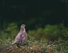 _DSC5477 (Juhani Purola) Tags: birds hazelgrouse wildlife espoo finland