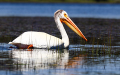 2017-06 Stephen Payne-83.jpg (Stephen_Payne) Tags: birds pelicans lakeofthewoods oregon othertags places lakes