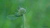 Grünes Perlenauge (Chrysopa perla) - Florfliege (Oerliuschi) Tags: florfliege fluginsekt netzflügler chrysopidae macro insect natur kaiserstuhl grünesperlenauge