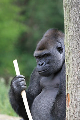 Gorille des Plaines de l'Ouest (olivier.ghettem) Tags: pairidaiza belgique gorille gorilla gorilledesplainesdelouest animal singe ape primate afrique africa