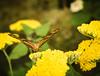julia butterfly. (fetidadders) Tags: dryasiulia julia butterfly sanfranciscoconservatoryofflowers sanfranciscobayarea sanfrancisco goldengatepark