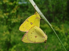 By Chance Two Sulphurs Meet (mcnod) Tags: mcnod butterfly sulphur orangesulphur badlands may 2017