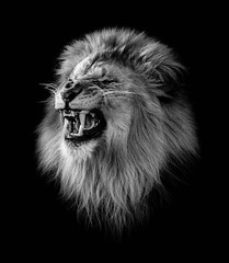 (abso847) Tags: lion king jungle brookfield zoo bw black white monochrome olympus teeth growl portrait chicago animal