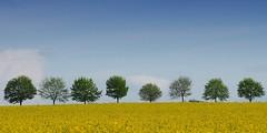 Spring is in the air [Explored May 24, 2017] (G_E_R_D) Tags: raps rape spring frühling yellow green blue gelb grün blau trees bäume baum