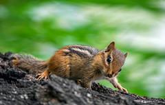 Hi there (Mio Romanic) Tags: cute nature priroda chipmunk
