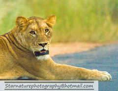 _DJA3651 copy (naturephotographywildlife) Tags: kruger wildlife scenery animals birdlife a99ii africa park lioness