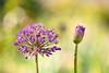 Allium (mclcbooks) Tags: flower flowers floral macro closeup allium spring denverbotanicgardens colorado zerenestacker focusstacking bokeh