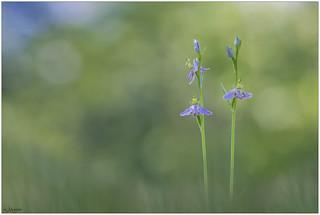 Ophrys apifera var. tilaventina