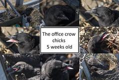 Crows (Nimbus20) Tags: carrion crow chicks month april newborn beak birds nest inthenest sussex gatwick office