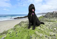 Water Dog Benni (Bennilover) Tags: dogs dog labradoodle benni bennigirl beach montage resort lagunabeach zoomies wet tongue doodles